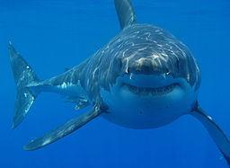 By Hermanus Backpackers (Great White Shark Cage Diving)  via Wikimedia Commons